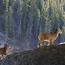 Mountain Goats by Dawne Olson