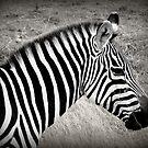 Zebra in BW by stevefinn77