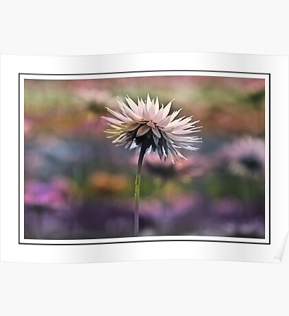 Kings Park Paper Daisy Poster