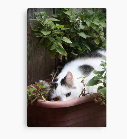 I Think I Have Had Too Much Catnip! *(Please read his story)*  Canvas Print