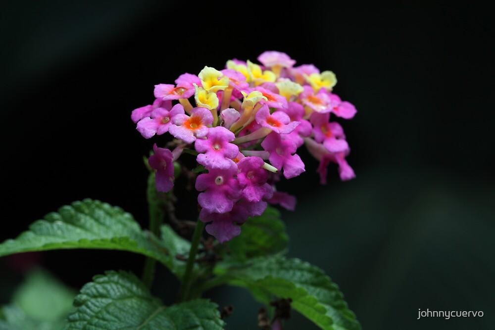 Flower by johnnycuervo