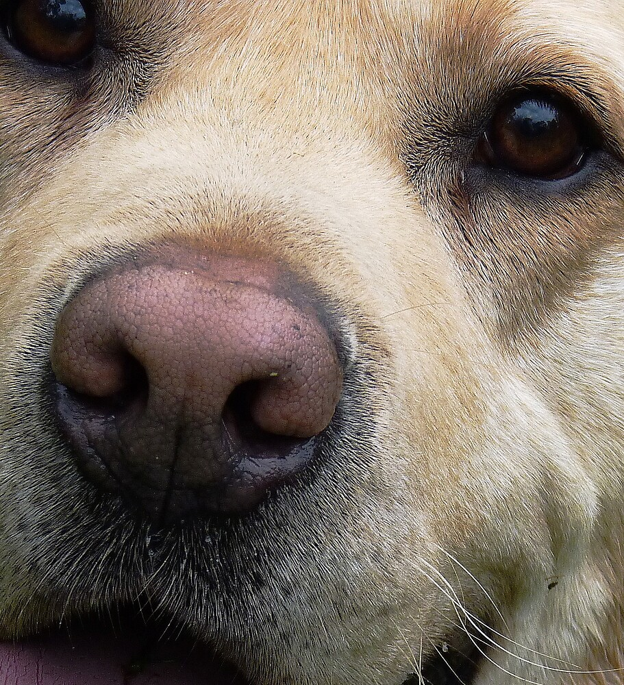 Labrador's Nose Knows... by Meg Hart