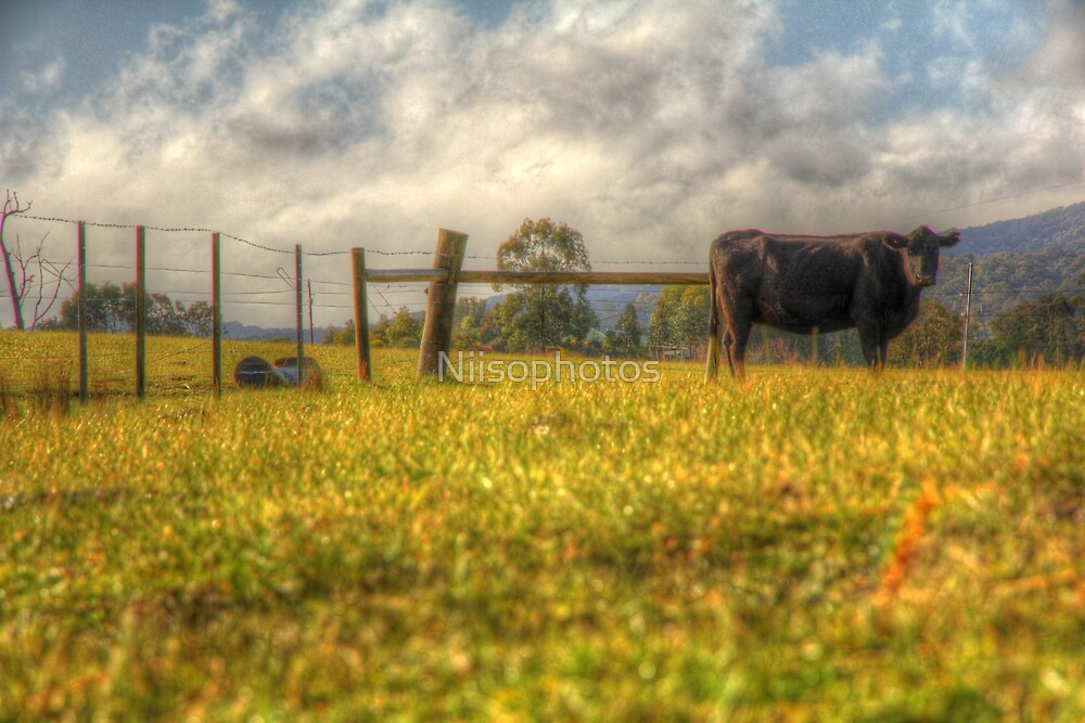 Cow ster    by Niisophotos