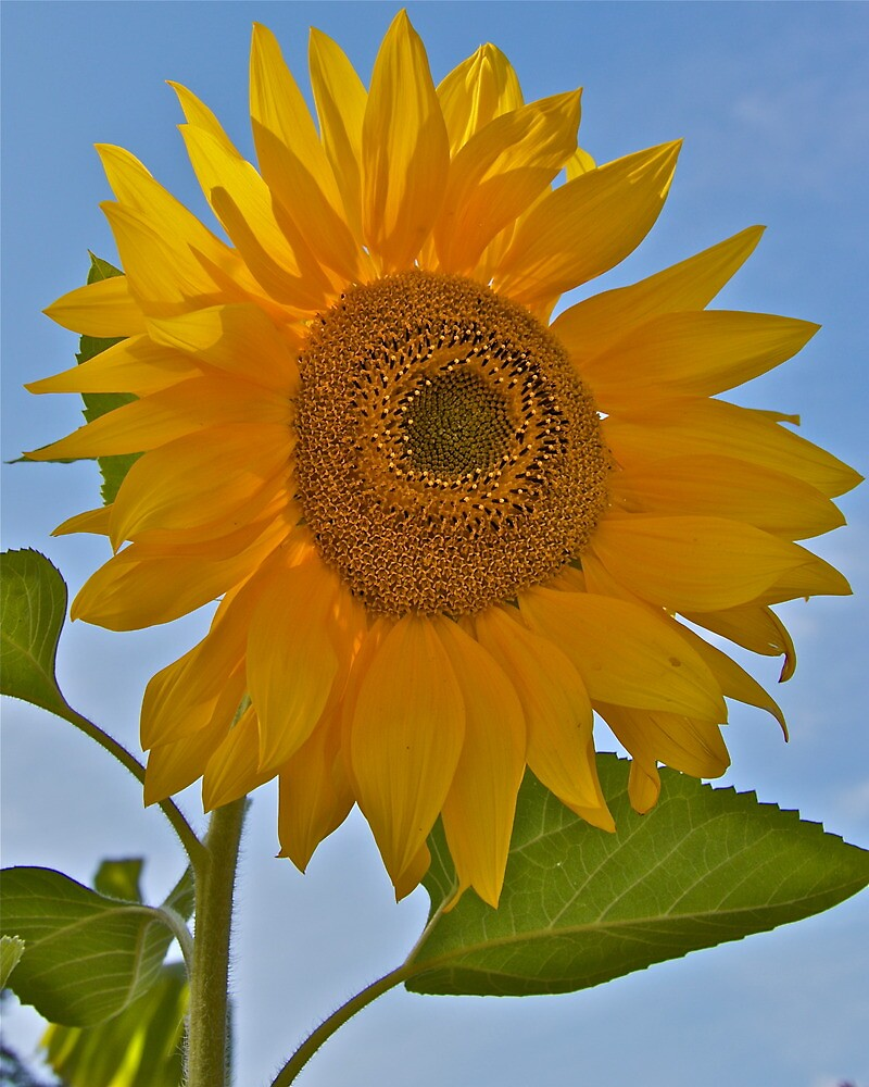 Sunflower in Blue by John Thurgood