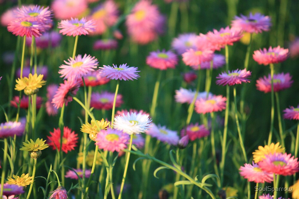 Paper Daisies @ Sunset by SoulSparrow