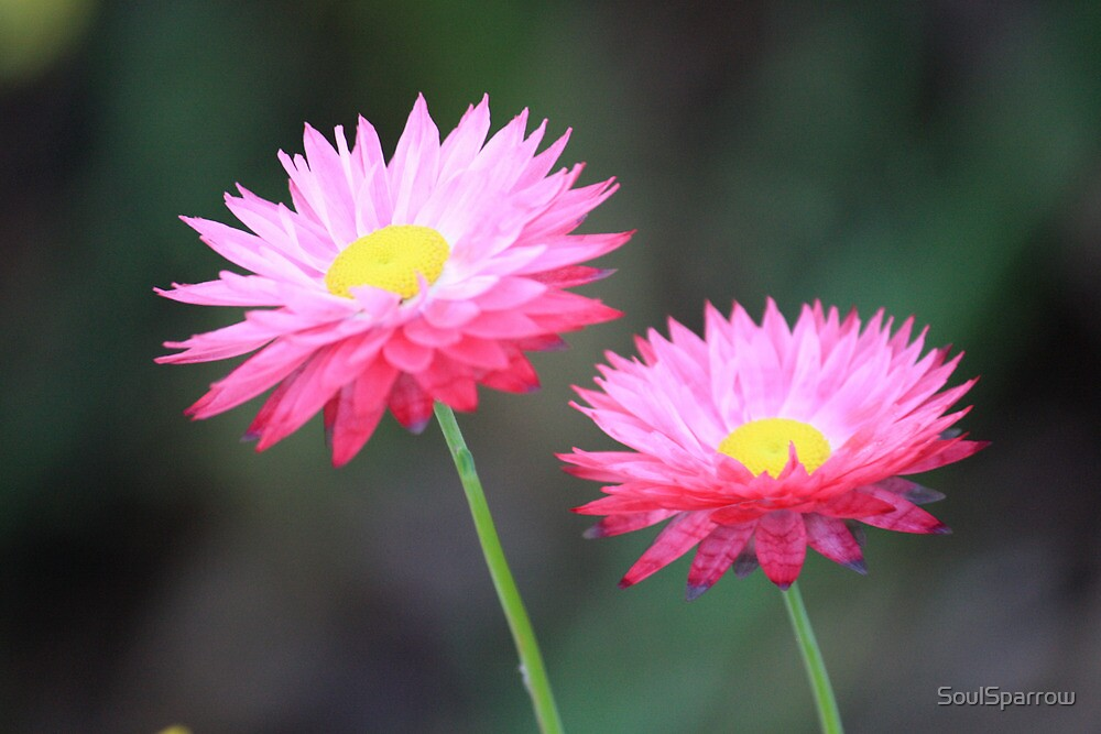 Pair of Pink Paper Daisies by SoulSparrow