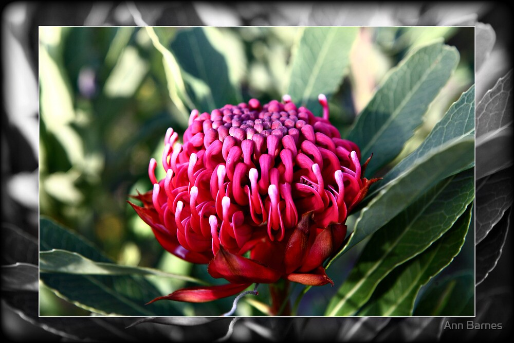 Waratah Flower by Ann Barnes