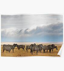 Zebra, Maasai Mara, Kenya Poster