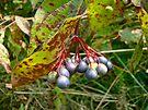 Autumn Viburnum Berries Series #1 by MotherNature