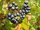 Autumn Viburnum Berries Series #3 by MotherNature