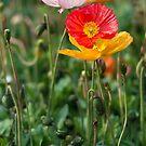 Poppies 2 by Werner Padarin