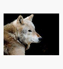 Timber Wolf Three Photographic Print