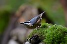 Nuthatch by Peter Wiggerman
