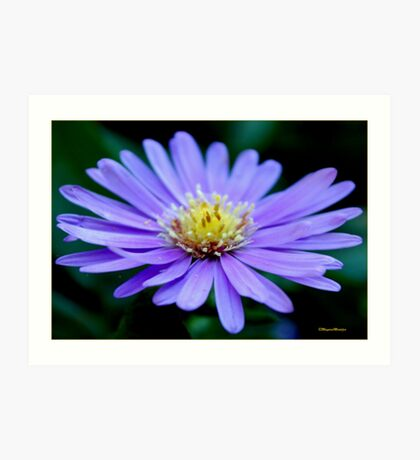 IN BLUE - THE MICHAELMAS DAISY - Aster novi-belgii Art Print