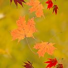 Falling red gold autumn leaves sugar and Japanese maple by Marianne Campolongo