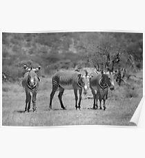 Grevy's Zebras at Samburu, Kenya Poster