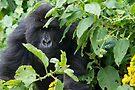 Juvenile Mountain Gorilla, Rwanda by Neville Jones