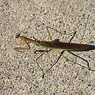 Praying Mantis 2 by Barry W  King