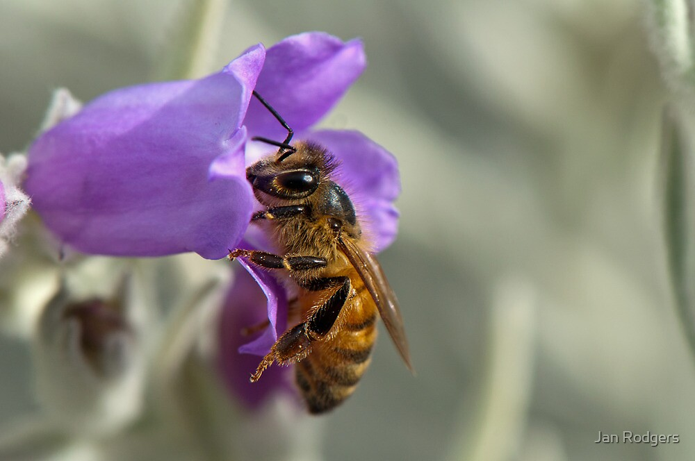 Honey Bee on Eremophila nivea by Janette Rodgers