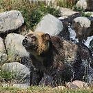 Grizzly by Gene Praag