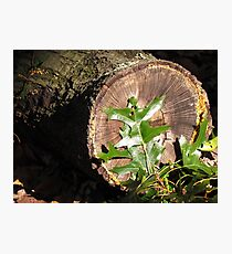 Fallen Oak Photographic Print
