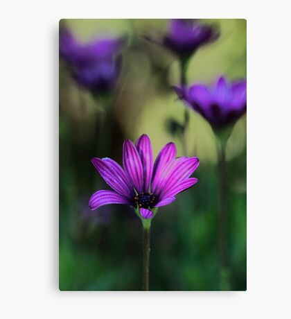 -Purple Symphony (African Daisy) Canvas Print
