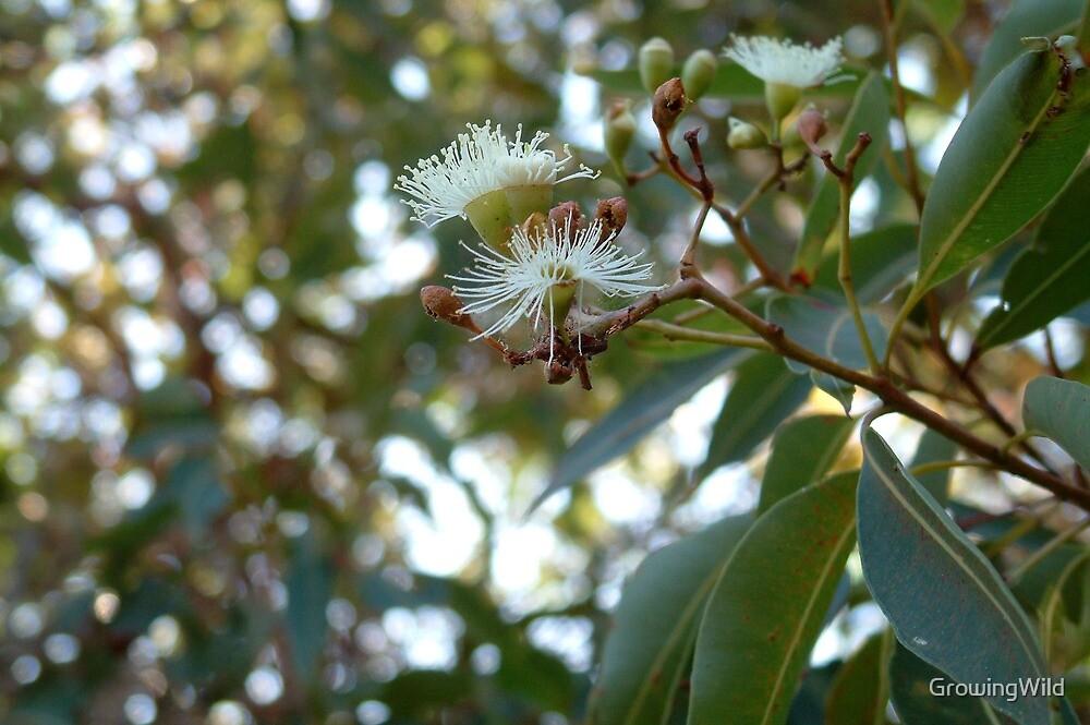 coastal mallee in flower by GrowingWild