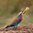 Lilac Breasted Roller by Neville Jones