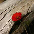 Flash of red by Tibbs