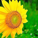 Sunflower by joevoz