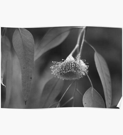 Silver Princess Eucalyptus Poster