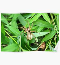 Wolf Spider ( Lycosidae) Poster
