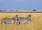 Zebra, Serengeti plains, Tanzania by Neville Jones