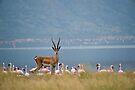 Grants Gazelle, Lake Bogoria, Kenya by Neville Jones