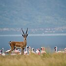 Grants Gazelle, Lake Bogoria, Kenya by Neville Jones