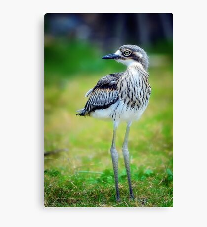 Baby Curlew... Canvas Print