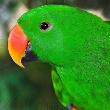 Eclectus Parrot  by Lucindawind