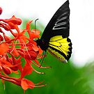 Pretty Tropical Butterfly  by Elaine  Manley