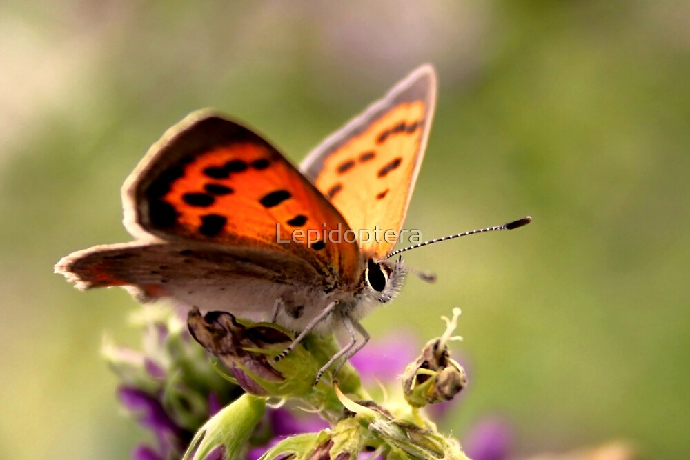 Small Copper - Lycaena phlaeas by Lepidoptera