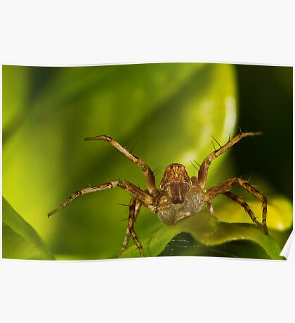 Lynx Spider Poster