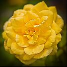 Yellow Rose by Shirley Tinkham