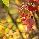 Highbush Cranberry by Roxanne Persson