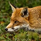 Dog Fox by Val Saxby
