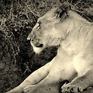 The Lioness by stevefinn77