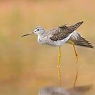 Autumn Greater Yellowlegs by Daniel Cadieux