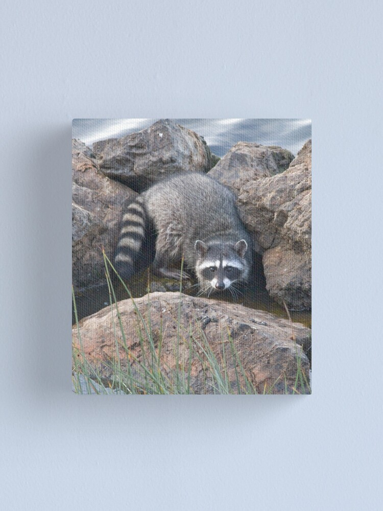 Alternate view of Raccoon on the rocks Canvas Print