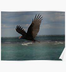 Turkey Vulture In Flight ~ Poster