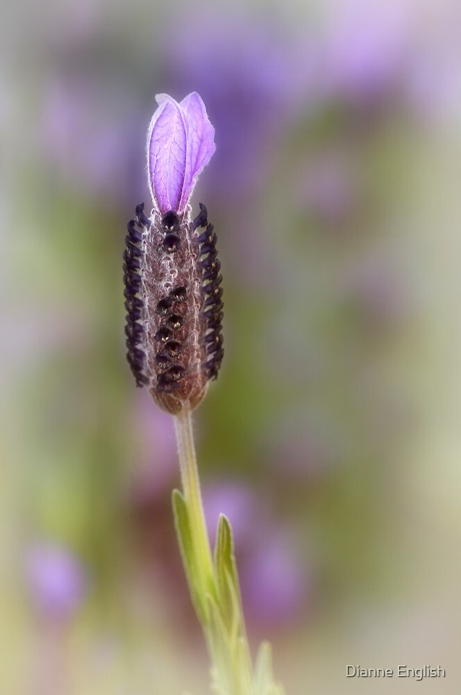 Lavender lonely by Dianne English