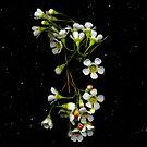 Chamelaucium uncinatum (Geraldton Wax). Flower scan. by Kirsten Spry