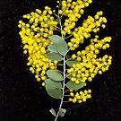 Wattle, flower scan. by Kirsten Spry